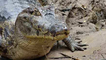 spectacled caiman_1